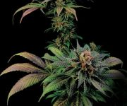 1 UND FEM - BLUE WIDOW