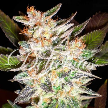 1 UND FEM - CHEESE CANDY AUTO (AUTOMATIC LINE)