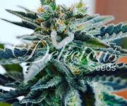1 UND FEM - SUGAR BLACK ROSE (INDICA LINE)
