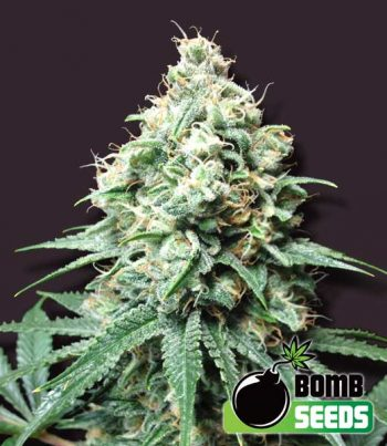 10 UND FEM - KUSH BOMB