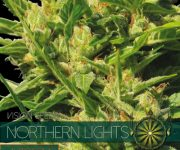 10 UND FEM - NORTHERN LIGHTS AUTOFLOWERING