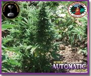 10 UND FEM -SUPER AUTOMATIC SATIVA