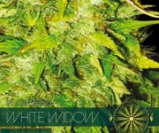 10 UND FEM - WHITE WIDOW AUTOFLOWERING