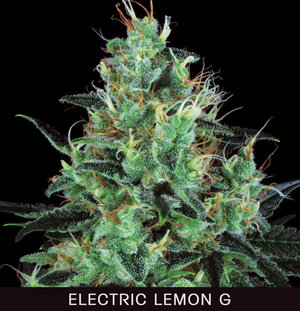 10 UND REG - ELECTRIC LEMON G