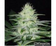 12 UND REG - MAHAYANA