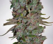 5 UND FEM - AUTO BLUEBERRY DOMINA