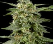 5 UND FEM - WHITE WIDOW